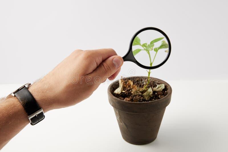 частично взгляд персоны держа лупу и зеленое растение в баке на сером цвете стоковая фотография