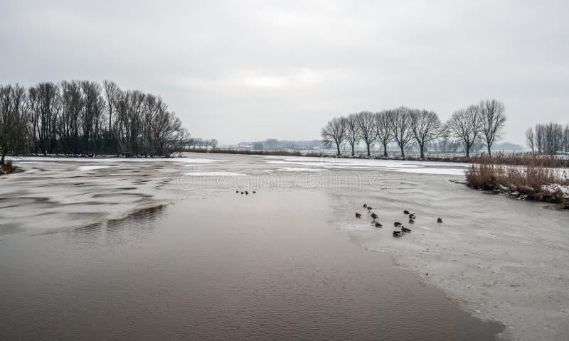 Частично, который замерли озеро с отдыхая кряквами стоковое изображение rf