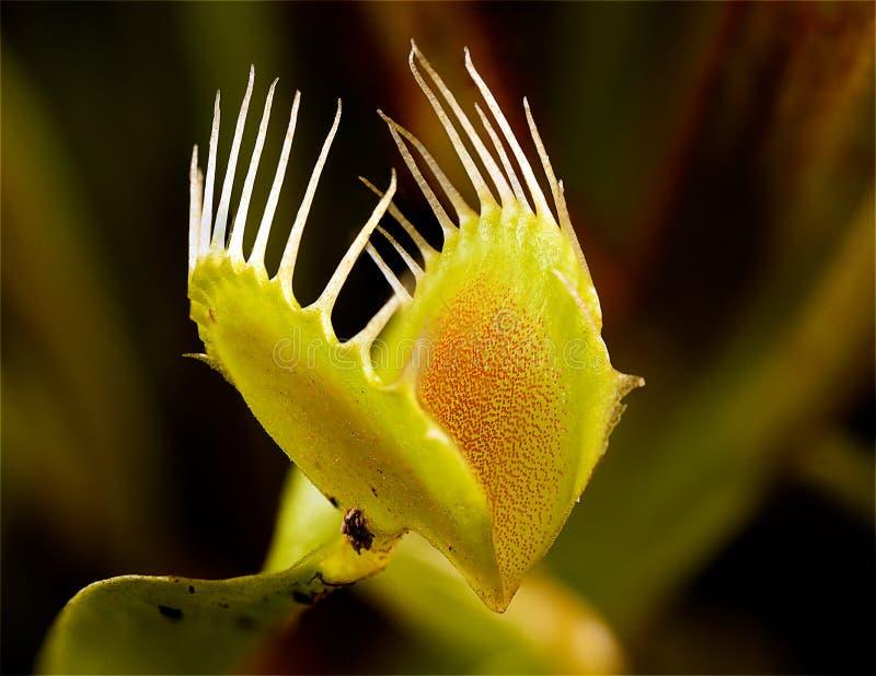 Ловушка мухы Венера стоковые фото