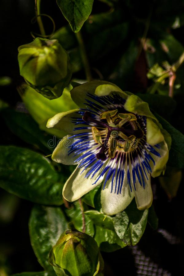 Частично раскрытый цветок страсти стоковая фотография
