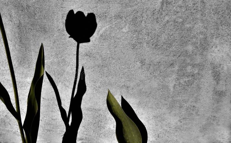 Частично тюльпан и тень тюльпана на старой стене дома стоковое изображение