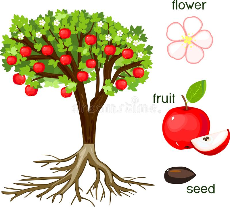Части завода Словотолкование яблони с плодоовощами, цветками, листьями зеленого цвета и системой корня на белой предпосылке иллюстрация штока