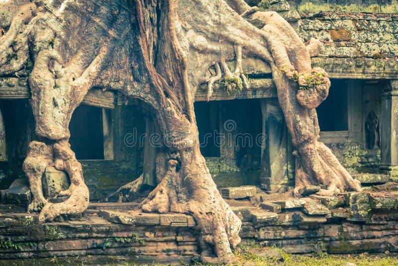 Части корня дерева перерастая старого виска Preah Khan на angk стоковые фотографии rf