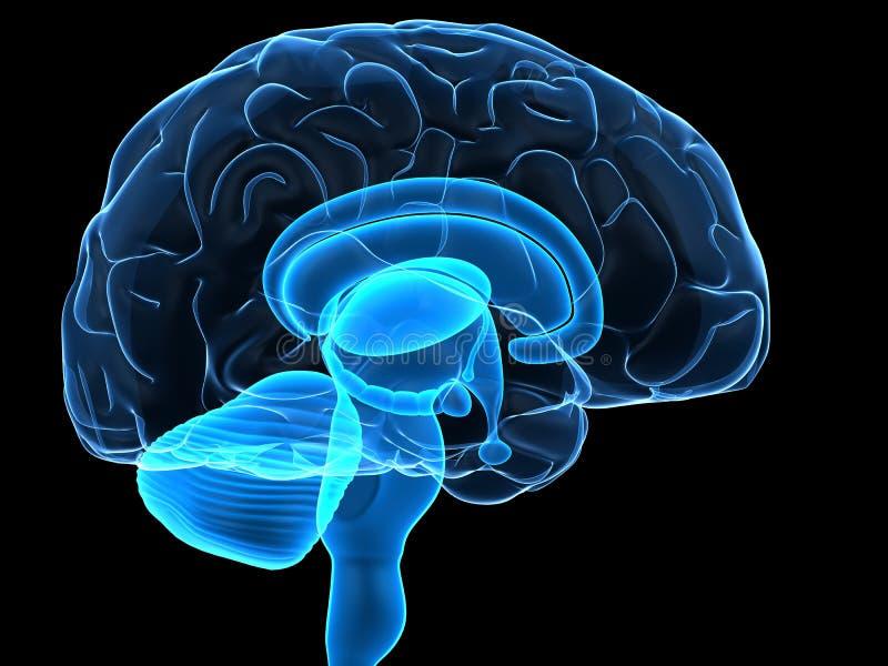 части человека мозга иллюстрация вектора