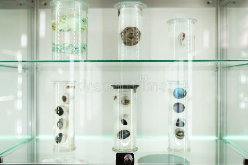 Анатомия человеческого органа часть глаз человеческого тела в формалине Технология медицинской науки стоковая фотография