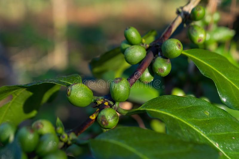 Часть 2 дерева незрелые дерево кофе, кофейные зерна, ферма кофе, кофе Mocha и Catimor стоковые фотографии rf