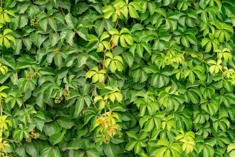 Часть загородки зеленого цвета стены плюща, конец вверх стоковое изображение rf