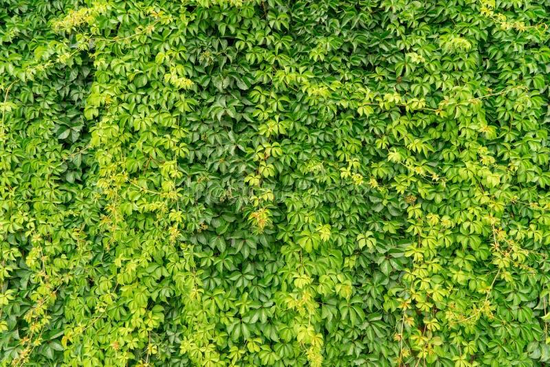Часть загородки зеленого цвета стены плюща стоковая фотография rf