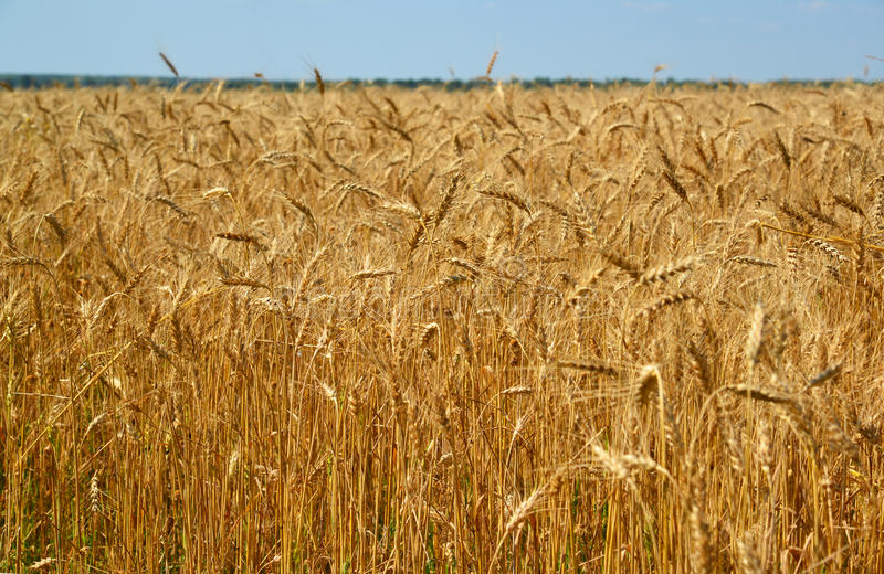 Часть зрелого пшеничного поля в в конце июля стоковая фотография