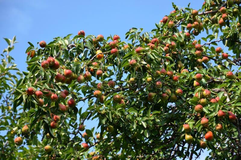 Часть кроны грушевого дерев дерева с плотно растя плодами стоковое фото rf