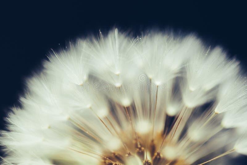 Часть цветка одуванчика на темной предпосылке стоковое фото rf