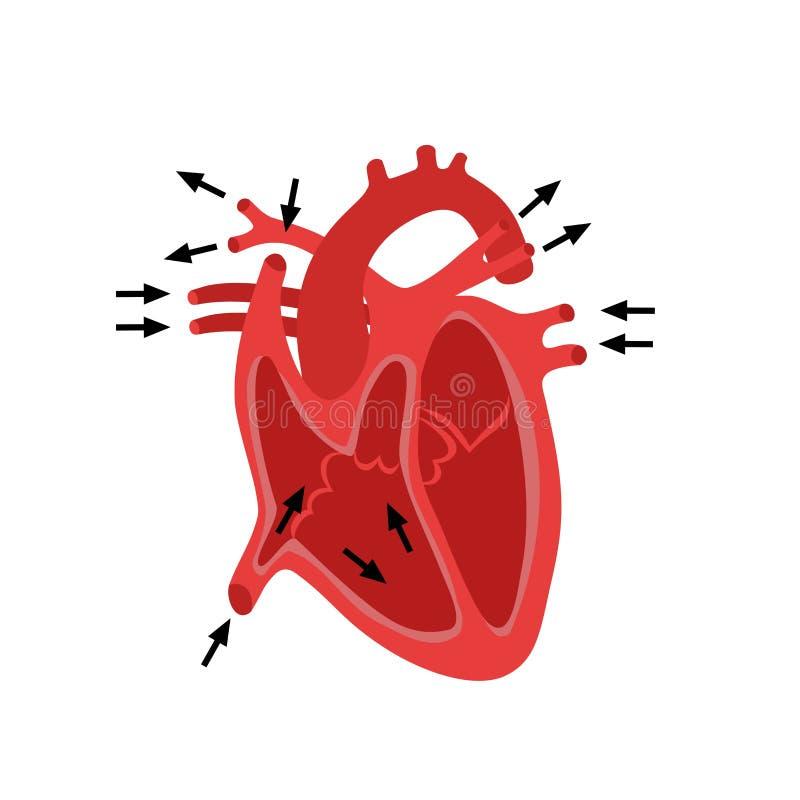 Часть человеческого сердца анархиста Диастола и систола Заполнять и нагнетать диаграммы человеческой анатомии структуры сердца ан иллюстрация вектора