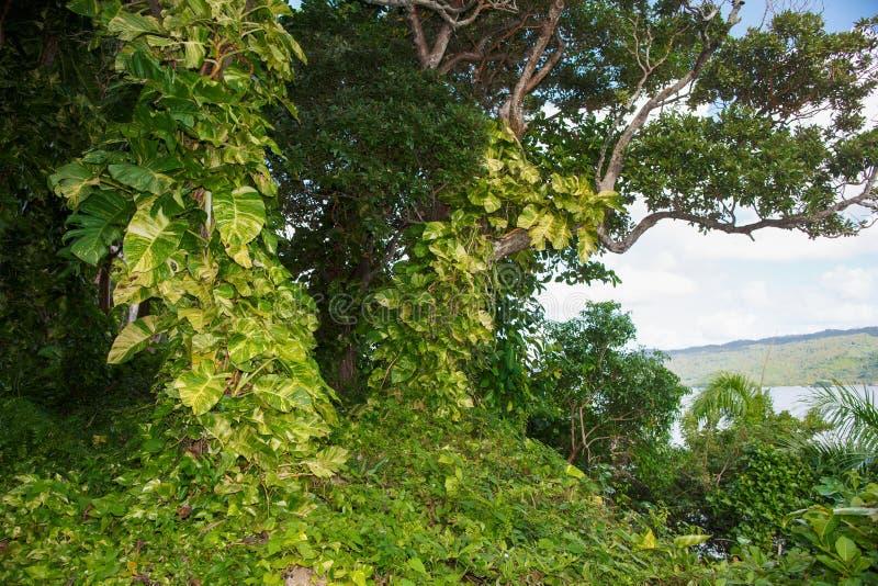 Чащи взбираясь заводов и деревьев Доминиканская Республика, t стоковые изображения rf