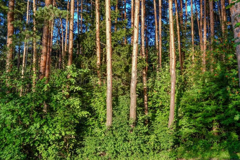 Чащи леса Туристский распорядок для опытных путешественников Россия стоковое изображение rf