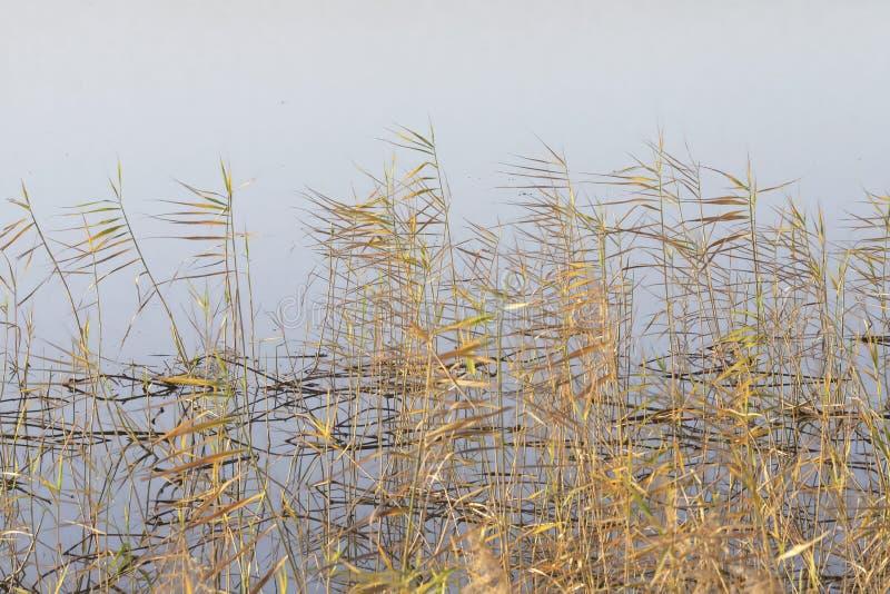 Чащи тростников осени на предпосылке серой воды стоковые фото