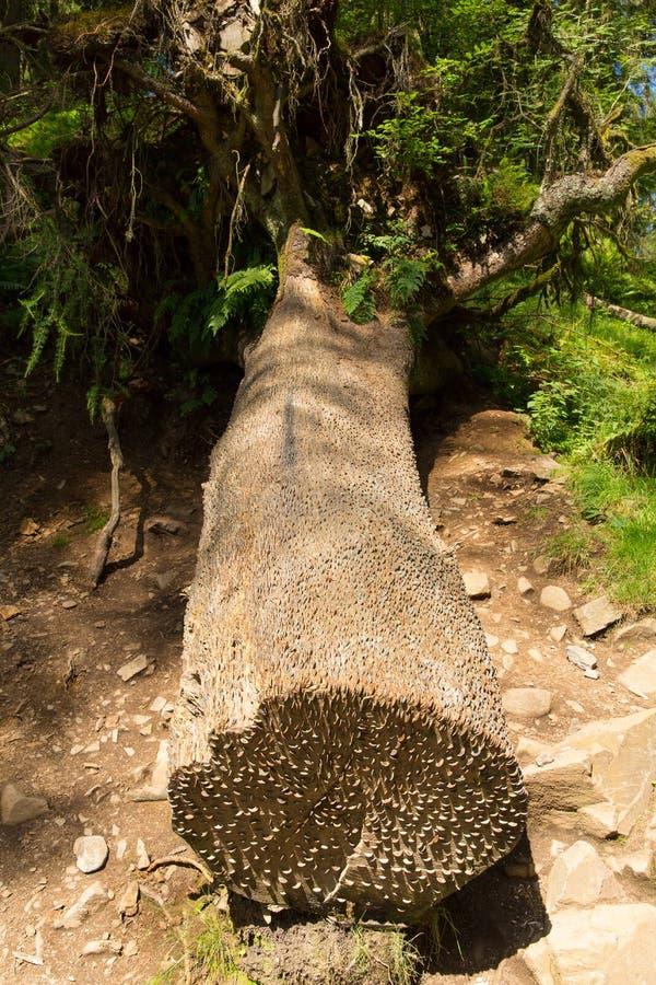 Чеканьте дерево на национальном парке Англии Великобритании района озера Hows Тарна стоковая фотография rf