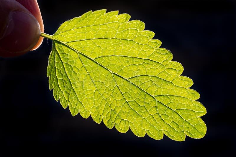 Чеканьте лист освещенные солнцем на задней части стоковая фотография rf