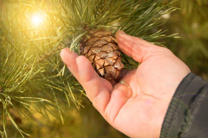 Человека конус сосны разрыва вручную, сосна с зеленой концепцией ветвей сосны рождества, праздник и Новый Год стоковые фотографии rf