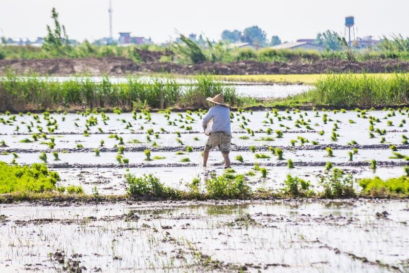 Человек в деятельности соломенной шляпы в поле риса в Иране стоковые фото