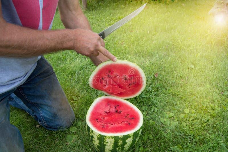 Человек в джинсах встает на колени на траве, режа с ножом красный зрелый арбуз для обедающего семьи лета стоковые изображения rf
