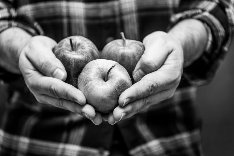 Человек держа яблоки в его руках нося фланель стоковые фотографии rf