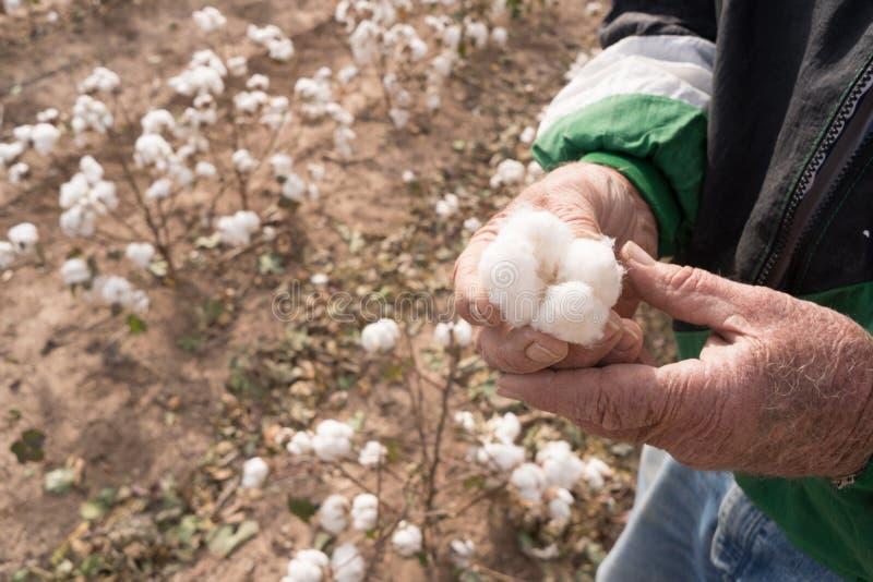 Человек держит товарную культуру земледелия Техаса поля фермы Boll хлопка стоковое изображение rf