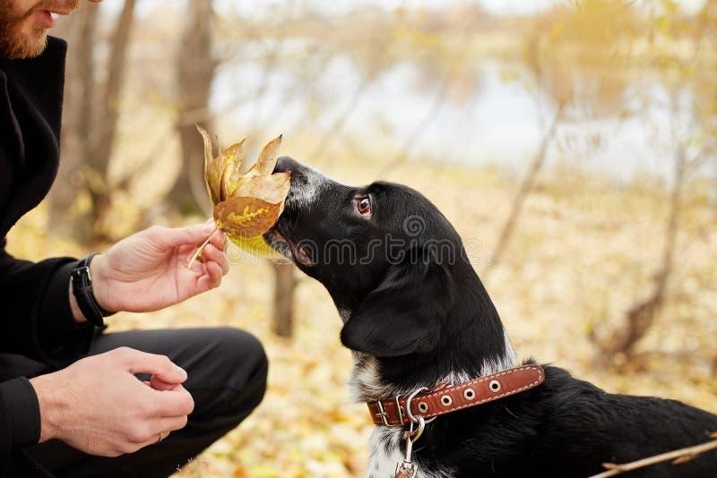 Человек идет осенью с Spaniel собаки с длинными ушами в парке осени Frolics и игры собаки на природе в осени желтеют folia стоковое изображение