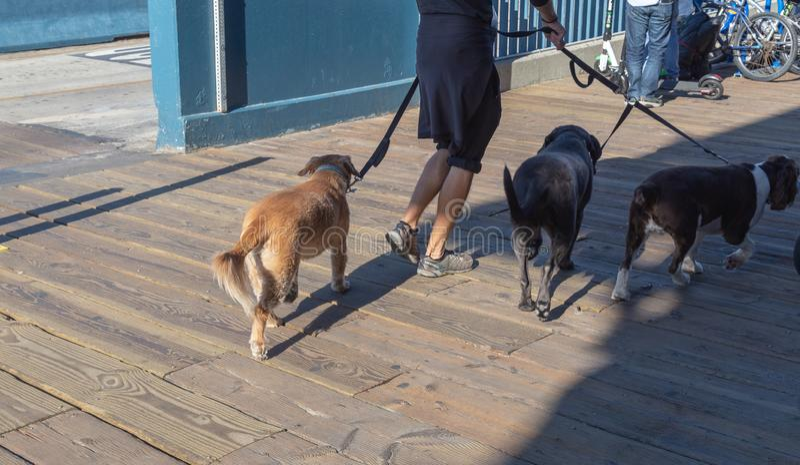 Человек идя 3 собаки на улице стоковые фото