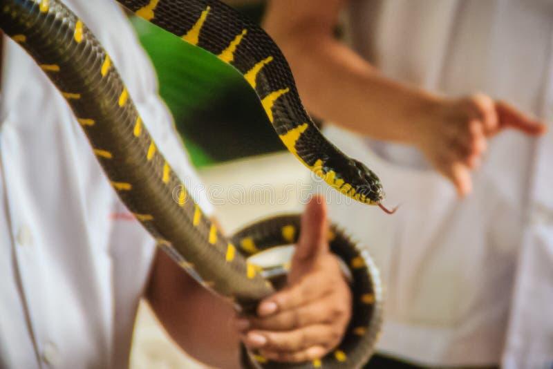 Человек использует голую руку для того чтобы уловить змейку dendrophila Boiga, c стоковая фотография