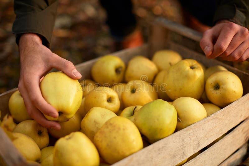 Человек кладет желтое зрелое золотое яблоко к деревянной коробке желтого цвета на ферме сада Садовод жать в саде и держа орган стоковое фото