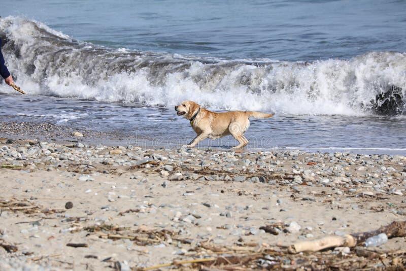Человек на ручке пляжа бросая для собаки стоковые фото