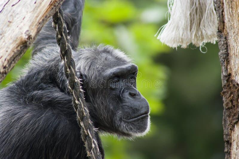 человек обезьяны стоковые фотографии rf