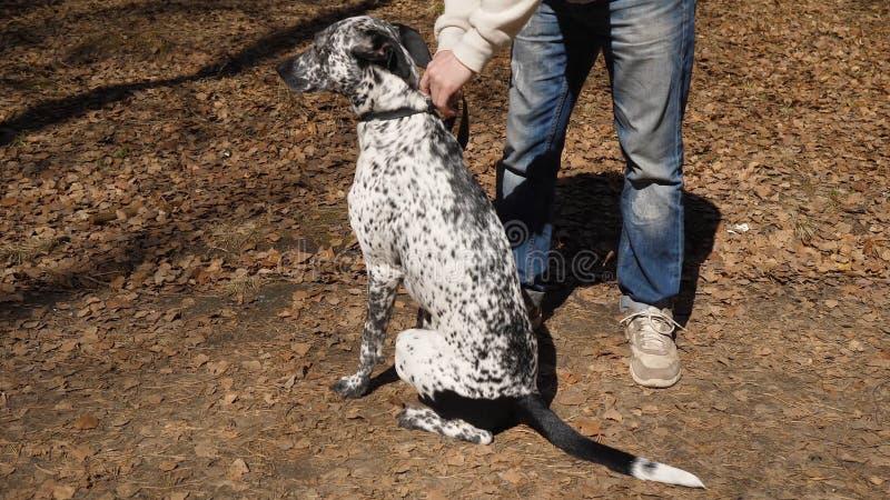 Человек предпринимателя outdoors с черно-белой запятнанной далматинской собакой Человек позволил собаке с поводка стоковая фотография rf