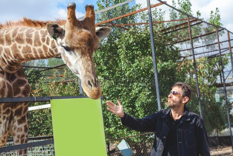 Человек при борода штрихуя голову жирафа стоковые изображения rf