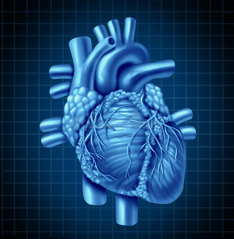 человек сердца анатомирования бесплатная иллюстрация