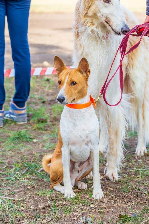 Человек стоит с борзой большой белой породы собаки русской стоковое изображение rf