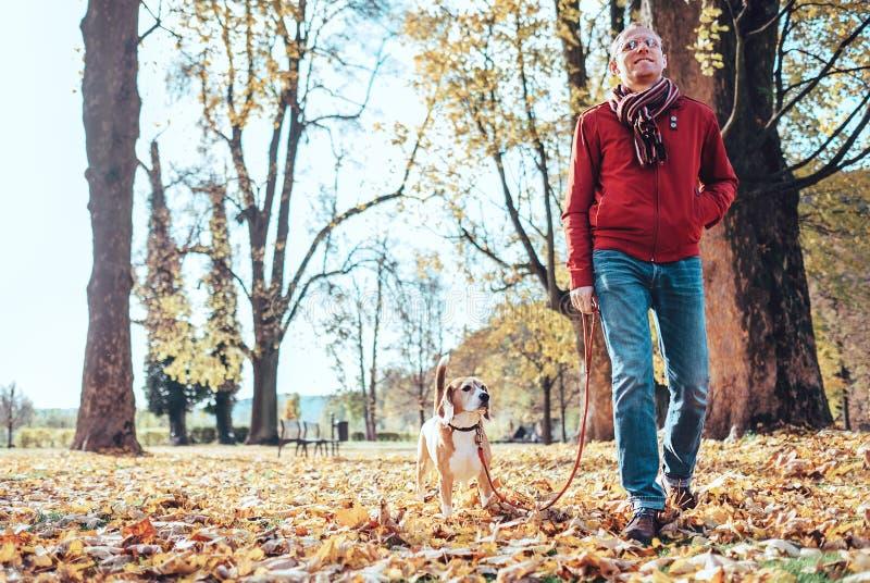 Человек с прогулкой собаки бигля совместно в парке осени стоковая фотография
