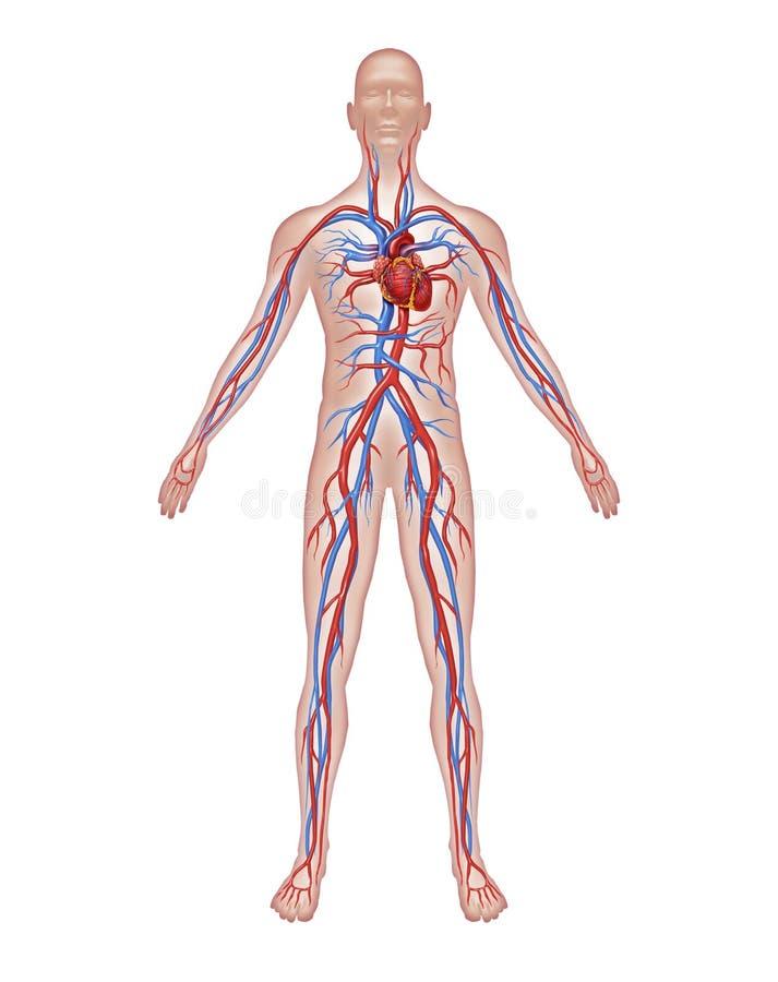 человек циркуляции анатомирования иллюстрация вектора