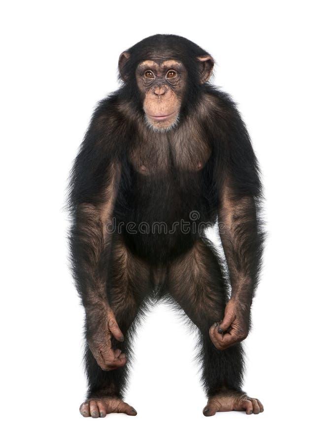 человек шимпанзеа любит simia стоя вверх детеныши стоковые изображения rf
