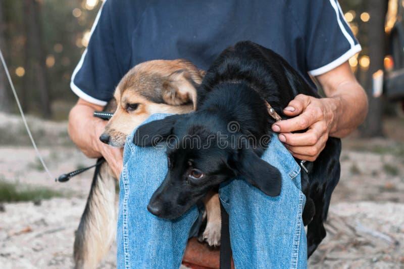 человек sittting с черными и коричневыми собаками snuggling вверх и отжимая друг к другу стоковое фото rf