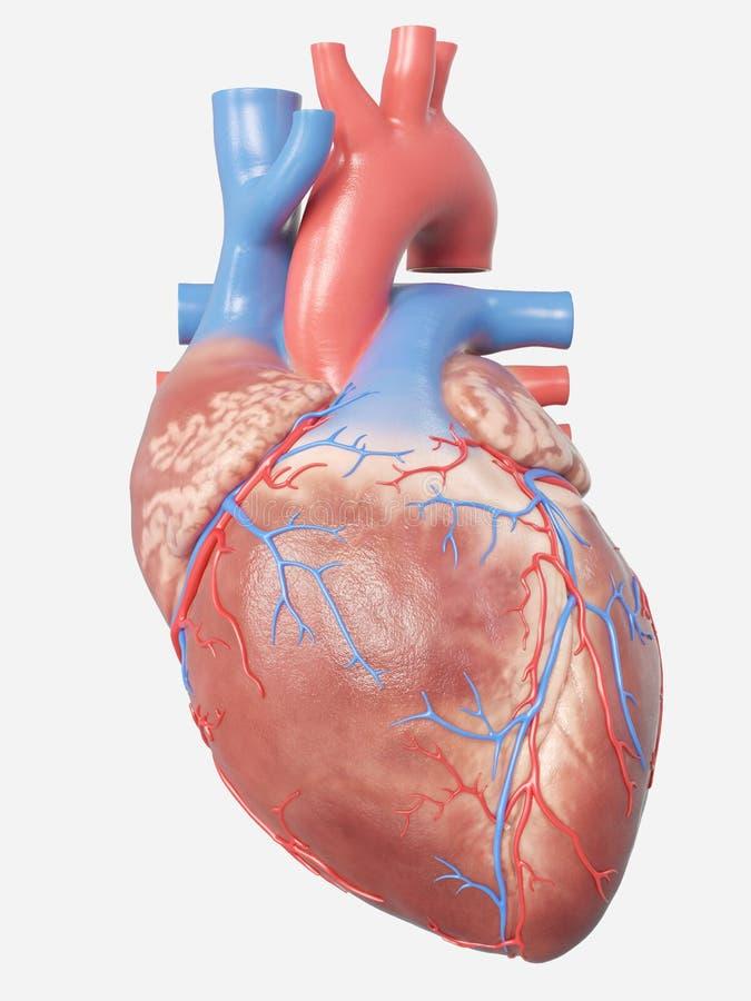 Человеческая анатомия сердца иллюстрация вектора