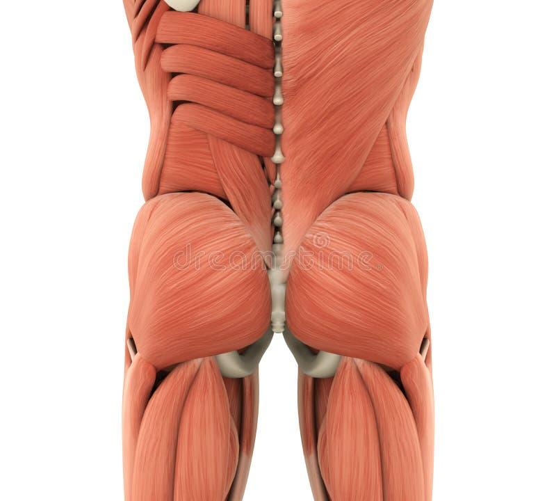 Человеческая анатомия Gluteal мышц иллюстрация вектора