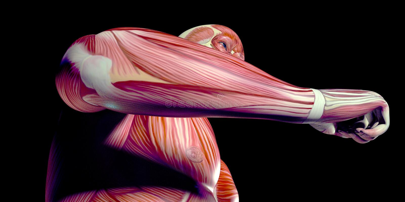 Человеческая иллюстрация анатомии мужского тела с видимыми мышцами стоковое фото
