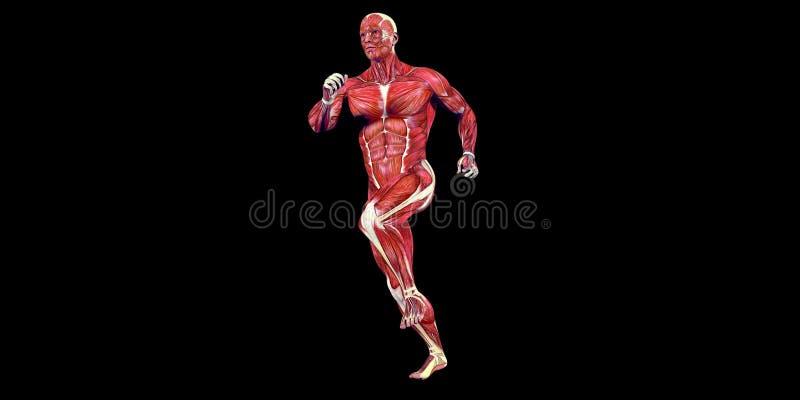 Человеческая иллюстрация анатомии мужского тела человеческого соединения колена с видимыми мышцами стоковые изображения