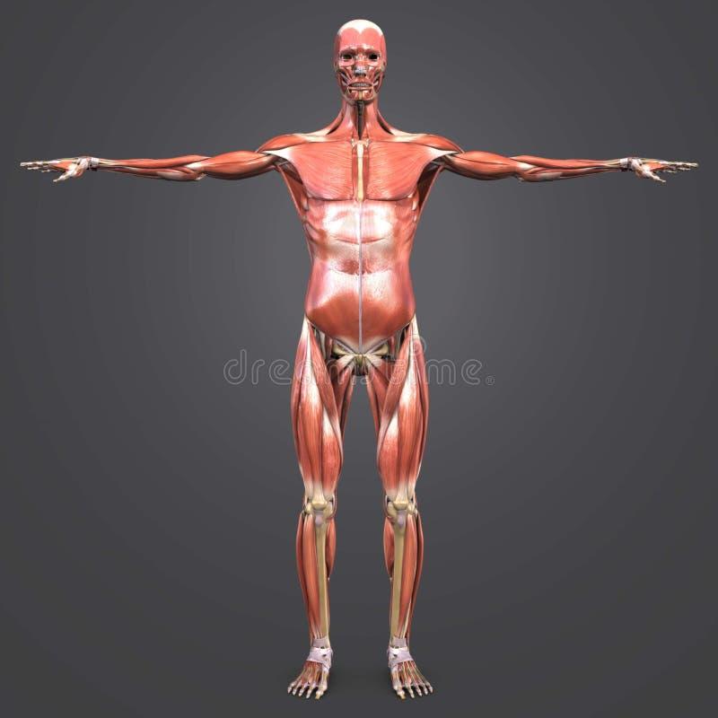 Человеческая мышечная анатомия с каркасным Anterior взглядом иллюстрация штока