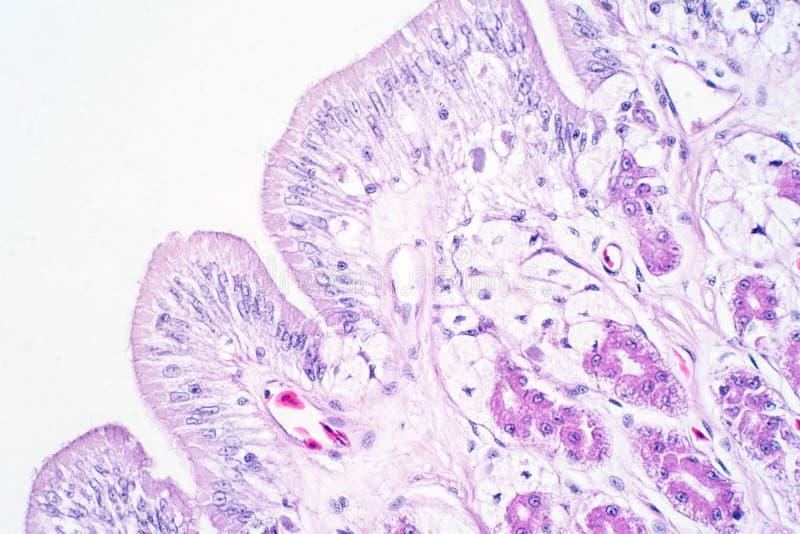 Человеческая ткань толстой кишки под взглядом микроскопа иллюстрация штока