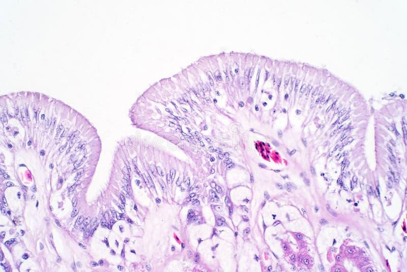 Человеческая ткань толстой кишки под взглядом микроскопа иллюстрация вектора