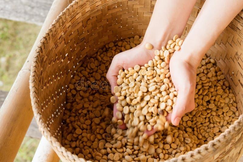 Человеческие руки лить сухие кофейные зерна стоковые изображения rf