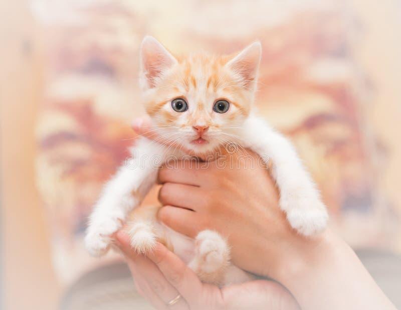 Человеческие руки тщательно держат малого котенка стоковая фотография
