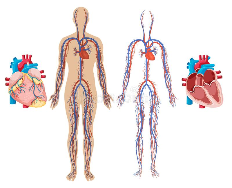 Человеческие сердце и сердечно-сосудистая система бесплатная иллюстрация